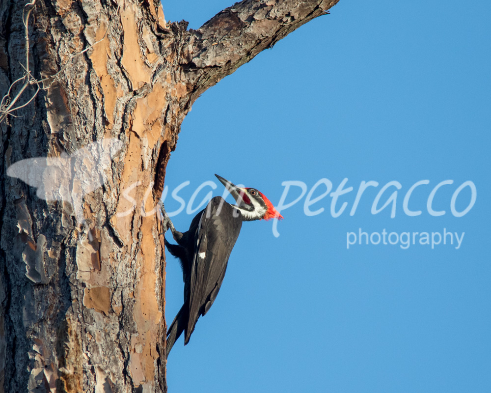 A male pileated woodpecker hanging out at the entrance to his cavity. Rockledge, FL