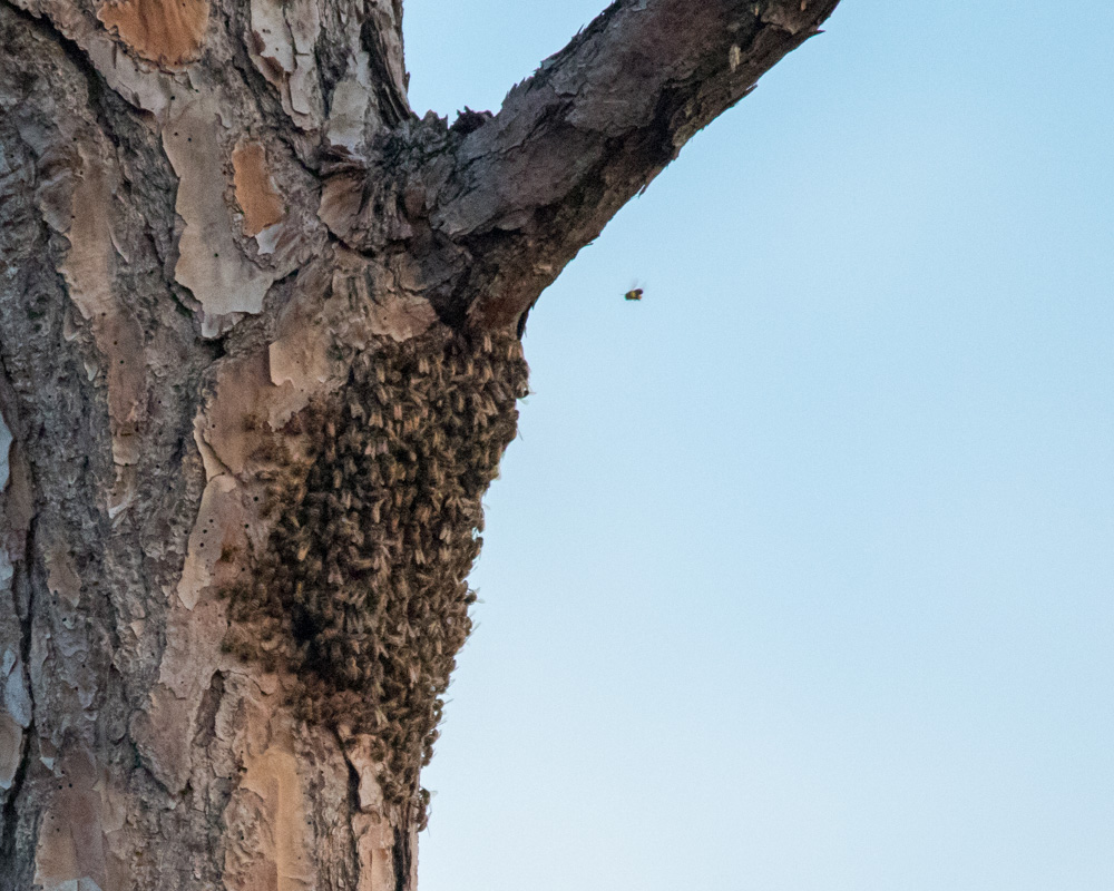 A swarm of bees has taken over the former woodpecker cavity.