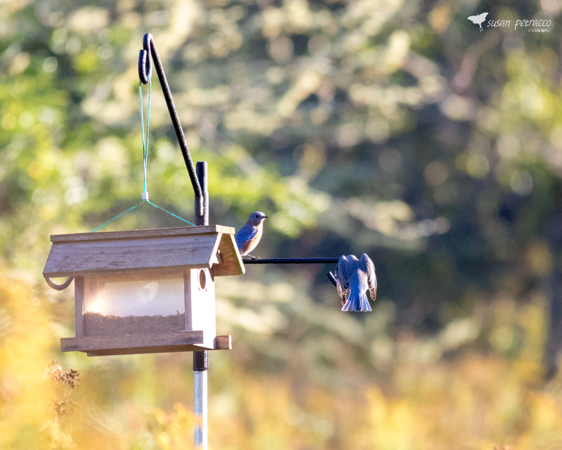 `Eastern Bluebirds