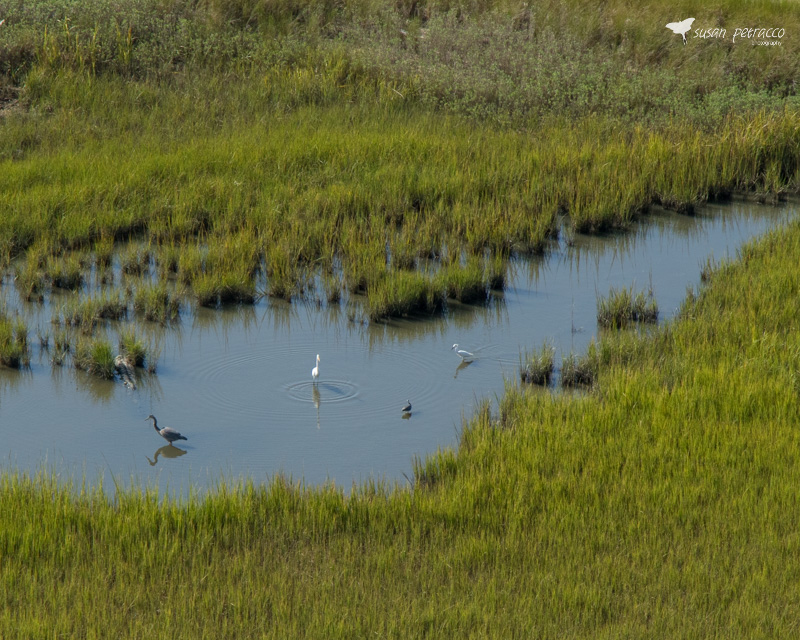 View from Ravenel Bridge - herons and egrets in the tidal creek